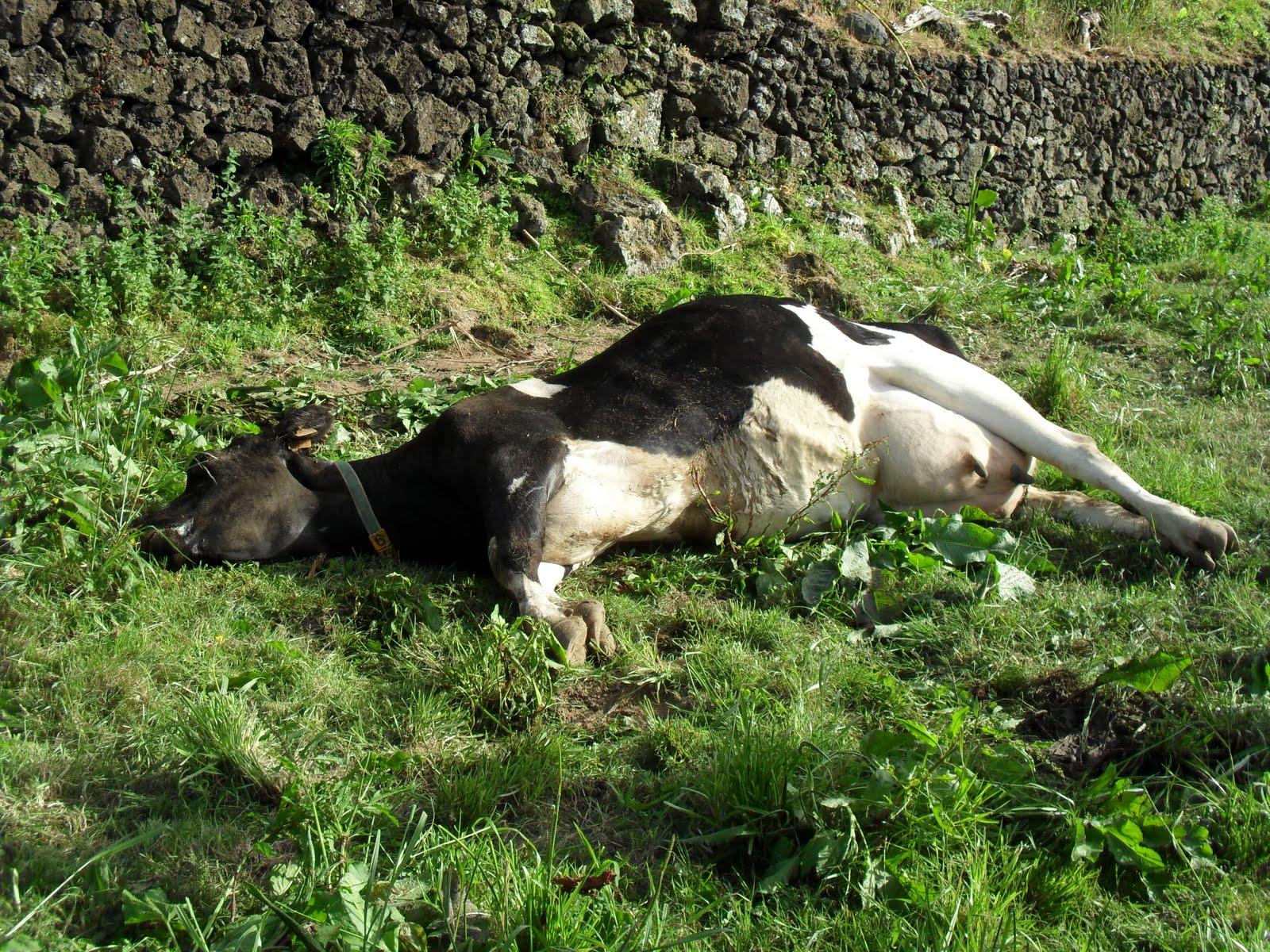 Hipocalcemia em vacas leiteiras