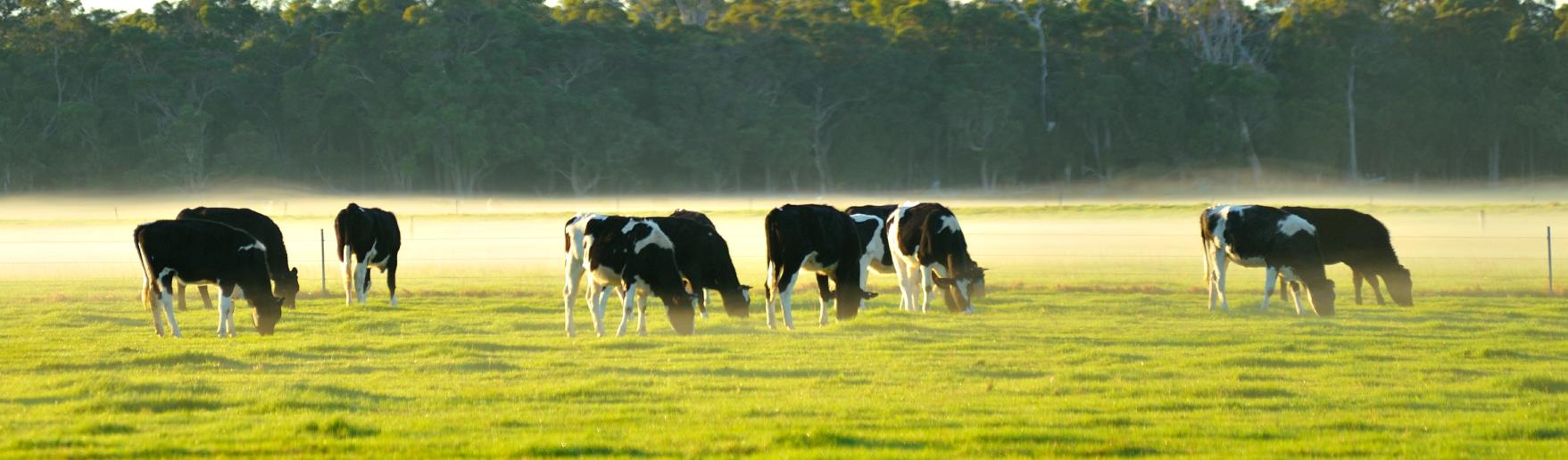 Cetose em rebanhos: doença comum no gado leiteiro de alta produção